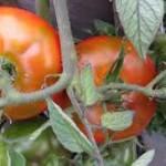 Empire Tomato