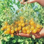 Ildi Tomato