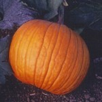 Old Zebs Pumpkin