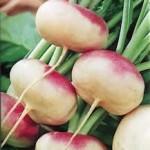 Purple Top Milan Turnip