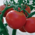 Rutger Tomato