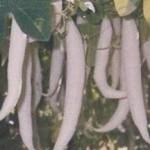 Snake Gourd, Hybrid White Glory