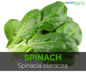 Spinach--Spinacia-oleracea