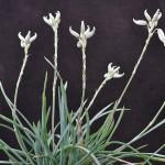 Aloe albida