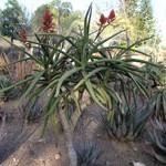 Aloe eminens