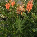 Aloe gracilis