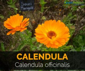 calendula-calendula-officinalis