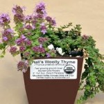 Hall's Woolly Thyme