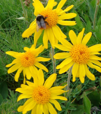 Health Benefits of Arnica
