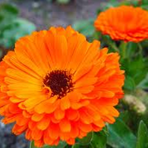 Health benefits of Calendula