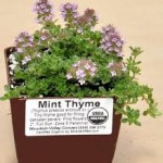 Mint Thyme