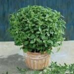 Fino Verde Basil