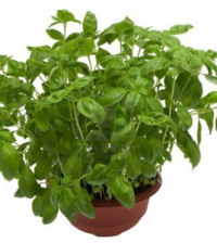 Health-benefits-of-Basil