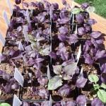 Purple Petra Basil