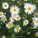 Scentless Chamomile