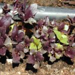 Violetta Aromatico Basil