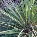 East Indian Lemongrass