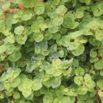 Gold Crisp Oregano
