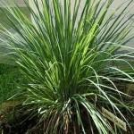 Ornamental Lemongrass