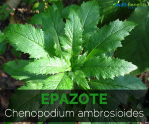 Epazote-Chenopodium-ambrosioides