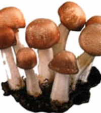 Health benefits of Agaricus Blazei Mushroom