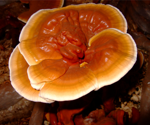 Health benefits of Reishi Mushroom