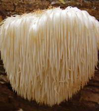 Health benefits of Lion's Mane Mushroom