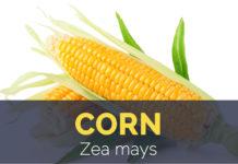 Corn - Zea mays