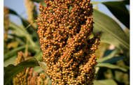 Health Benefits of Sorghum