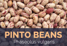 Pinto beans - Phaseolus vulgaris