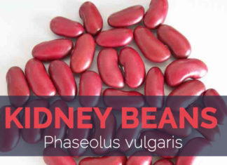 Kidney bean - Phaseolus vulgaris