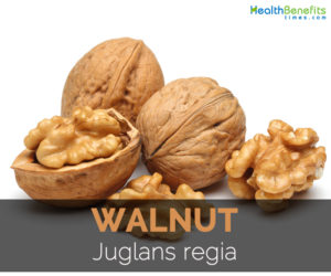 walnut-juglans-regia