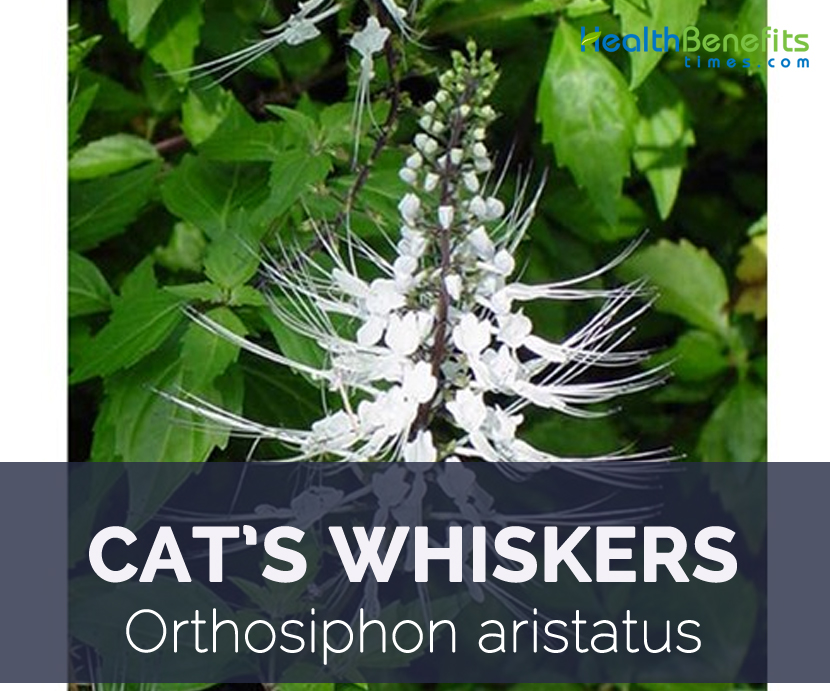 Cat S Whiskers Plant Scientific Name
