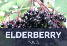 Elderberry Facts