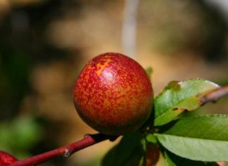 Varieties of Apricots