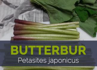 Butterbur - Petasites japonicus