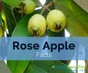 Rose-apple-facts