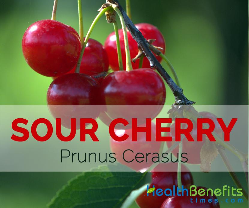 Sour Cherry – Prunus cerasus