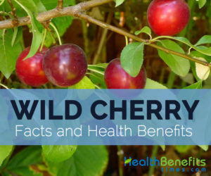 Wild-cherry-facts-and-health-benefits