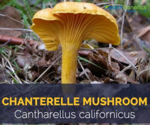 Chanterelle mushroom - Cantharellus californicus