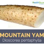 Mountain Yam - Dioscorea pentaphylla