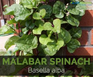 Malabar-spinach--Basella-alba