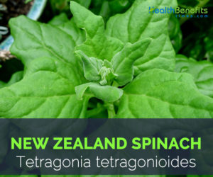 New Zealand spinach - Tetragonia tetragonioides
