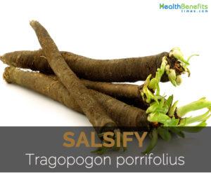 Salsify---Tragopogon-porrifolius