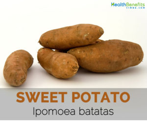 Sweet-potato---Ipomoea-batatas