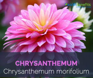 Chrysanthemum facts and health benefits