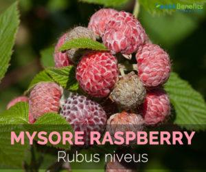 Mysore-raspberry-Rubus-niveus