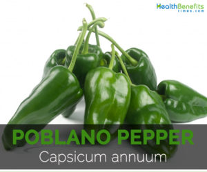 Poblano-pepper-Capsicum-annuum