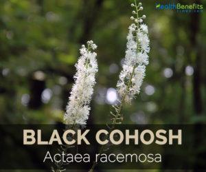black-cohosh-actaea-racemosa