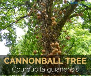 cannonball-tree-couroupita-guianensis